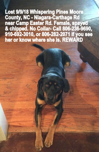 Lost Dog, Black Lab Mix w/Brown Points in Whispering Pines