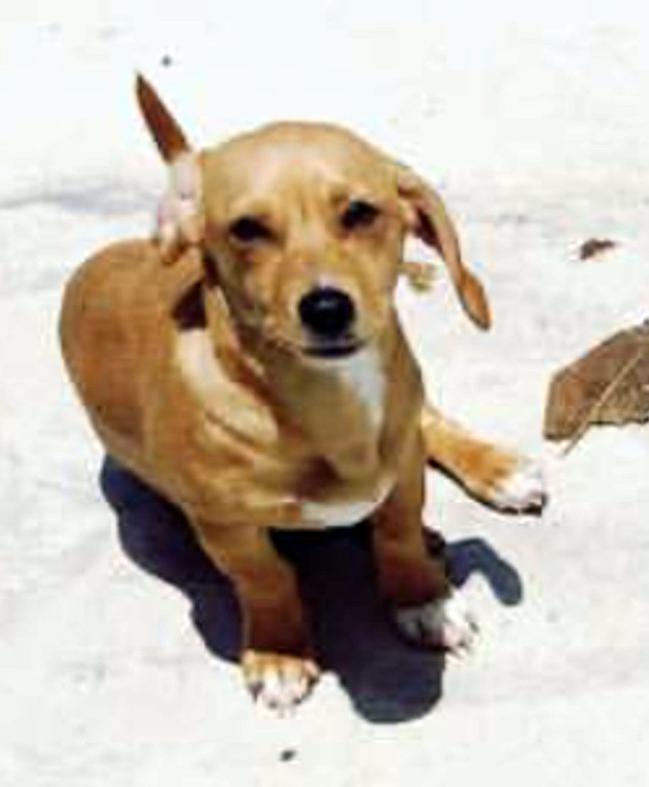 Pics photos dachshund chihuahua dog mix dogs pictures photos pics - Lost Dog Bubba