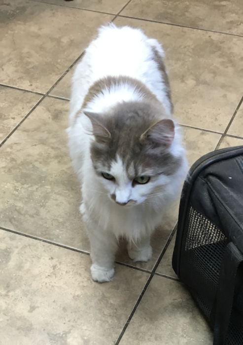 Lost Cat White With Brown Patches At The Meadows Near