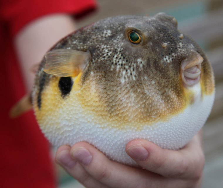 Ask the Aquarium: Pufferfish Not Good Swimmers | Features ...