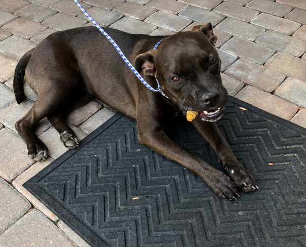 found dog  dark brown pitbull mix in southern pines