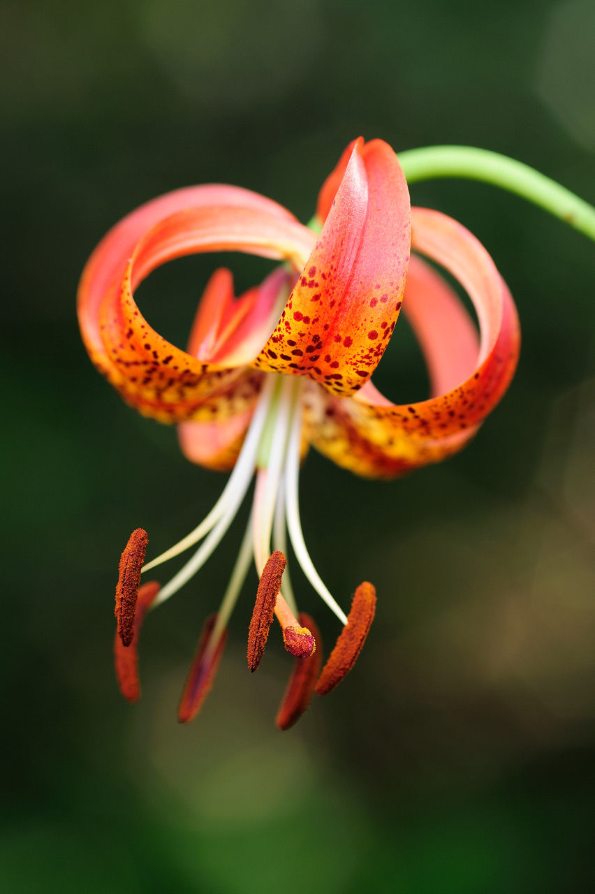 Sandhills Lily