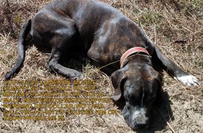 Lost Dog, Black Plott Hound Mastiff Mix in Cameron UPDATE