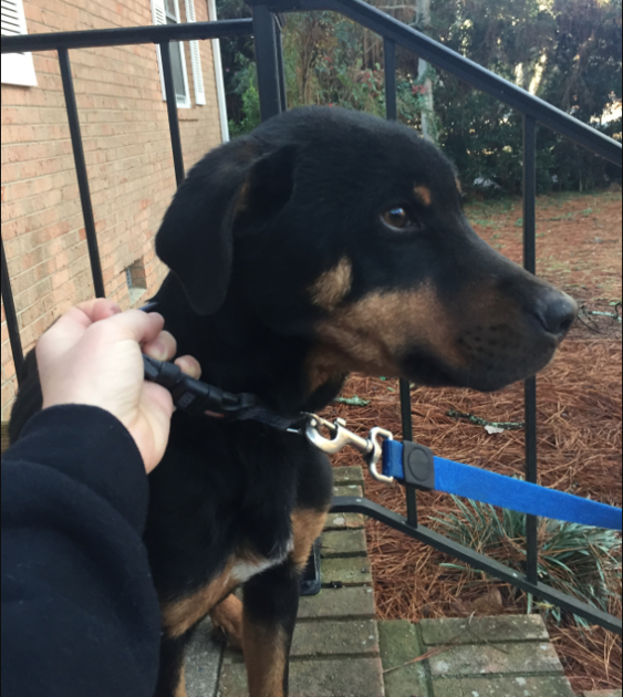 Found Dog Black And Brown Mixed Breed In Southern Pines