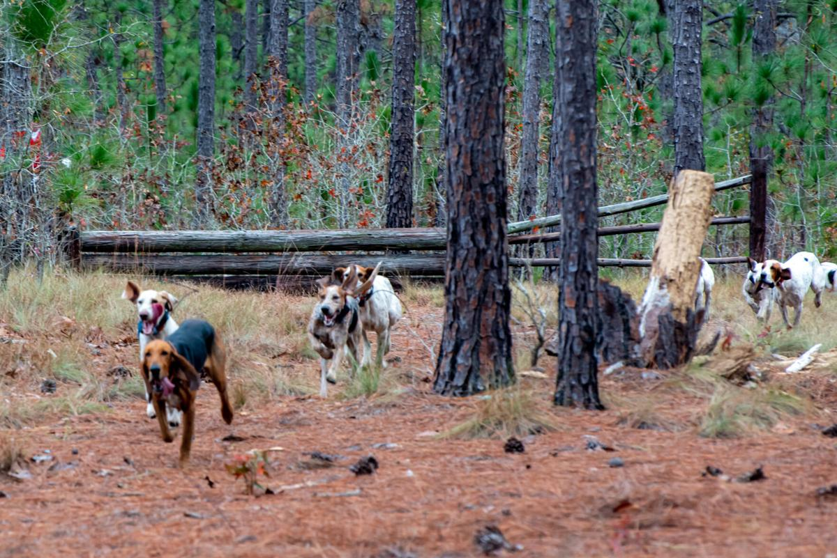 Fox hounds give chase to the dragged scent.jpg