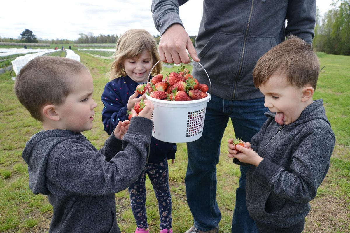 Strawberry picking Old Carthage Farm April 2021