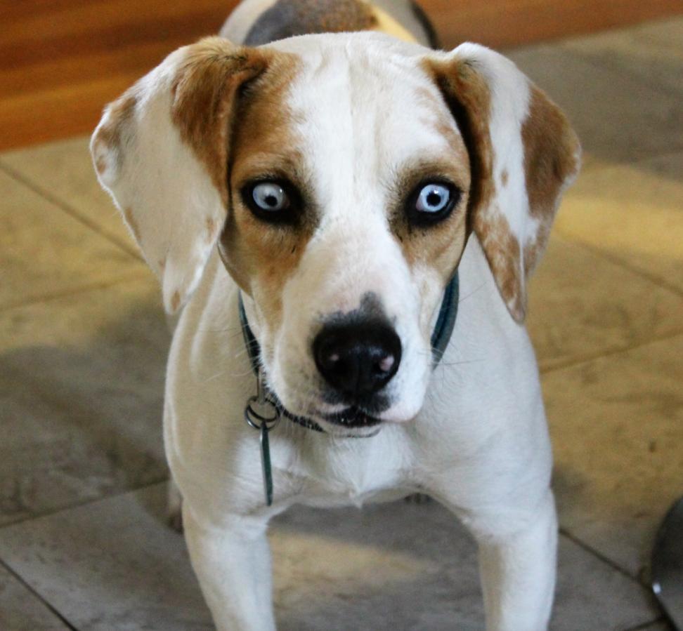 Golden Eyed Dog Breeds