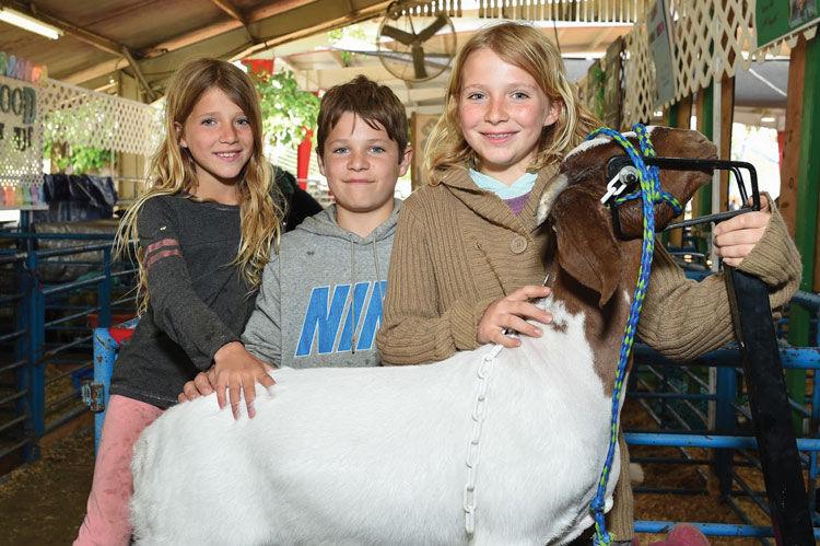 County Fair Goat