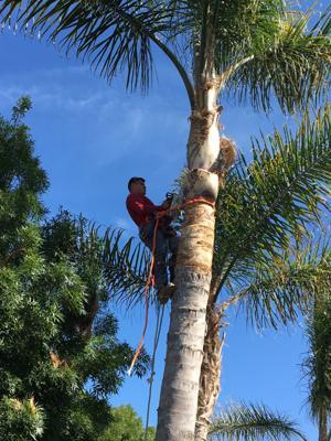Pic 6 John's Tree Service - Palm Tree Trimming v2
