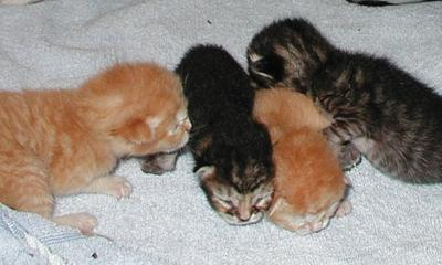 Adopt a pet: Kittens - Coming soon!