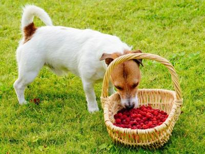 Berries for dogs