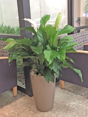 1 Spathiphyllum