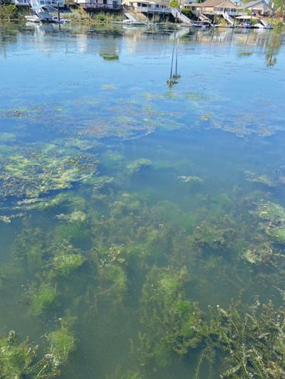 Treatment planned for algae