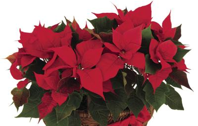 Pets and poinsettias