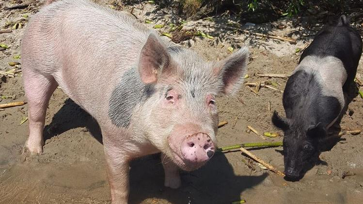 Owner of Delta pigs seeks attorney