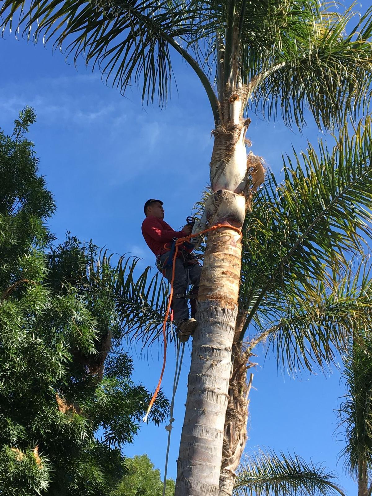 Pic 6 John's Tree Service - Palm Tree Trimming