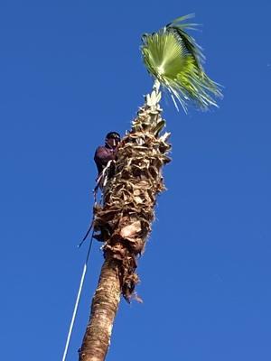 Pic 7 John's Tree Service - Palm Tree Trimming