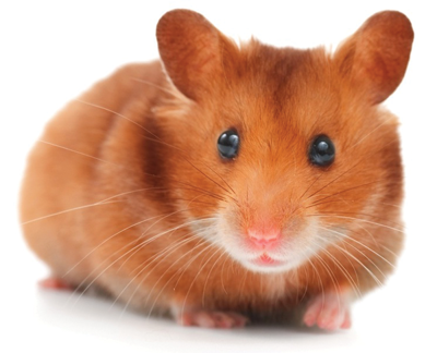Common hamster illnesses abound | Living | thepress net