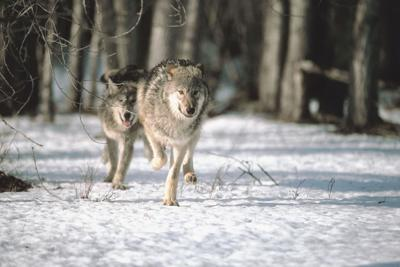 09-18-21 gray wolf stock.jpg