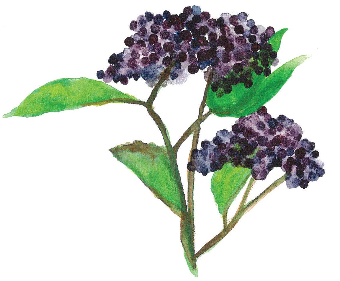 Elderberry watercolor painting Destination Sheridan