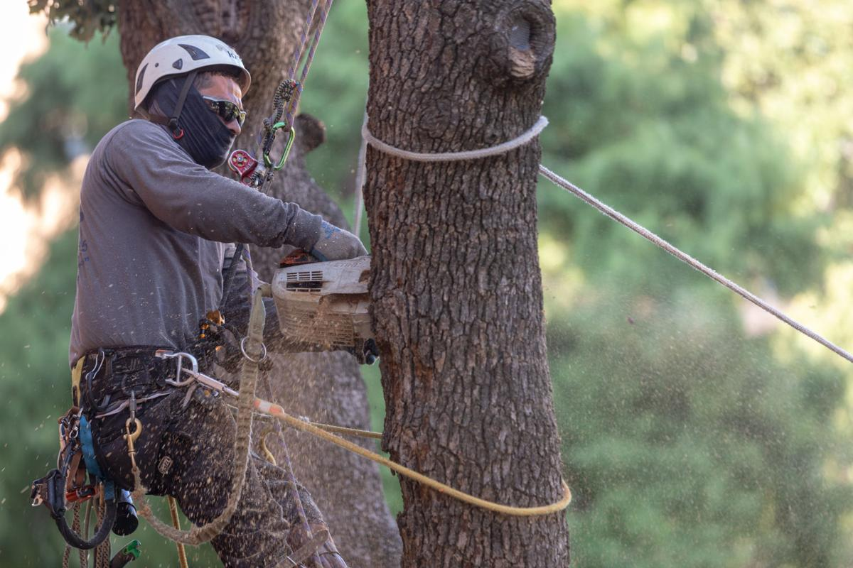 Beemergency rescue: Beekeeper removes beehive from tree near UC