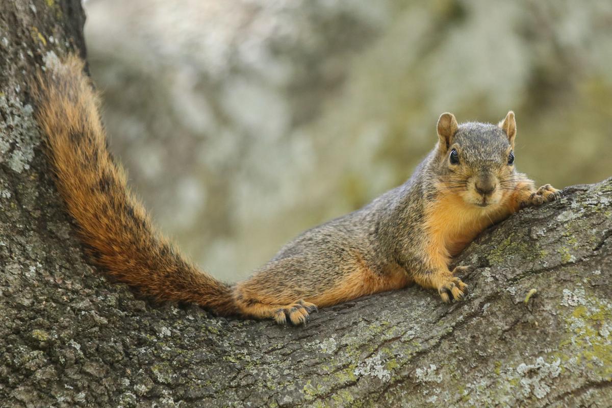 UTA squirrels: Fuzzy friends or feisty foes?   News