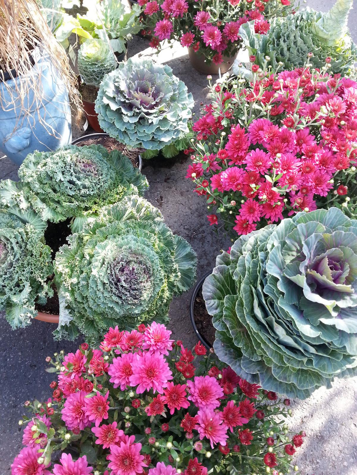 Ornamental flowering kales