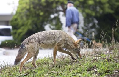 Montreal SPCA on coexisting with coyotes in the city