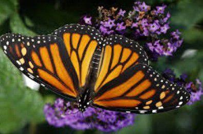 Befriending the Monarch