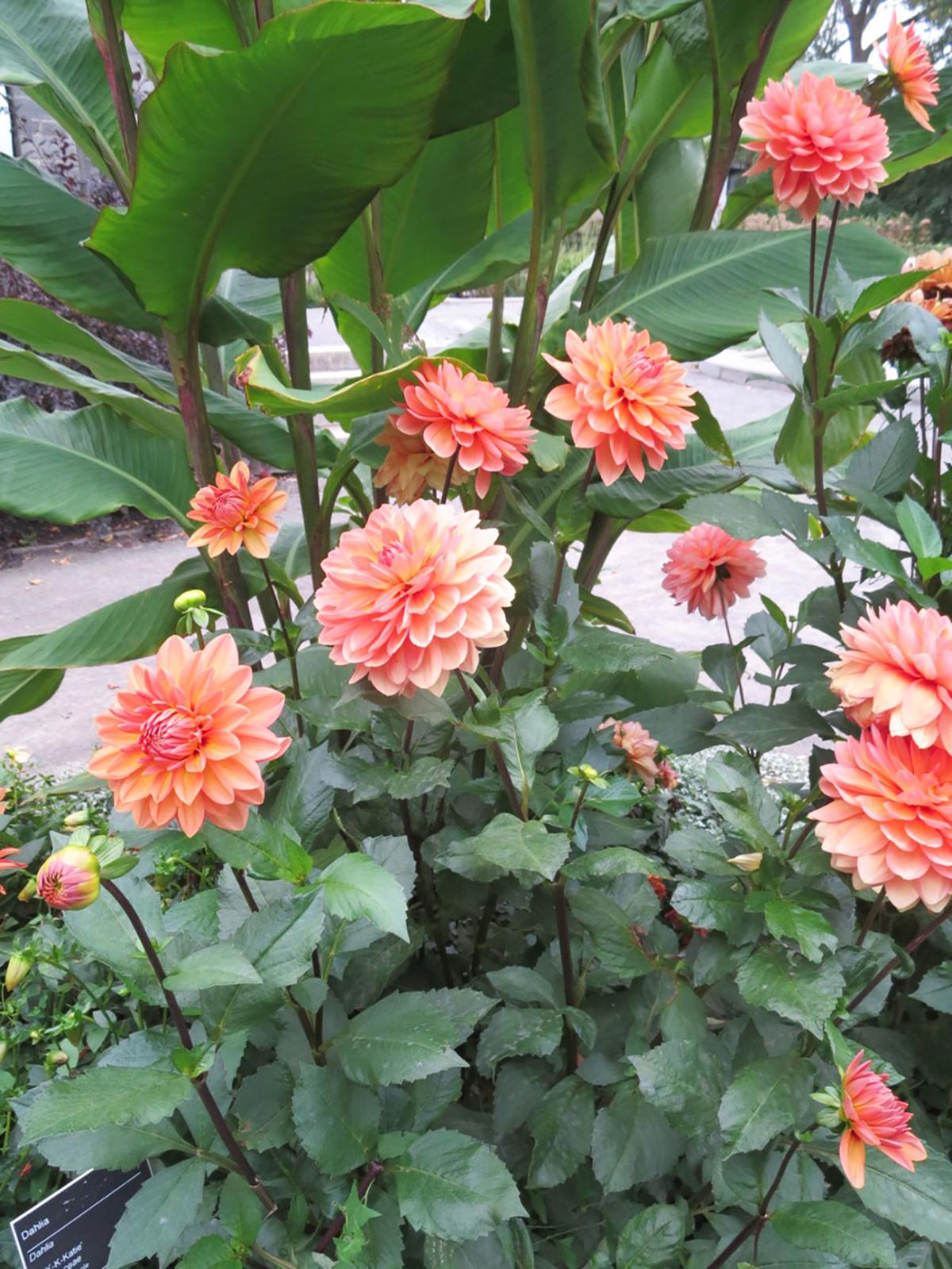 Elaine Sanders: Overwintering annuals indoors and tip cuttings will save money