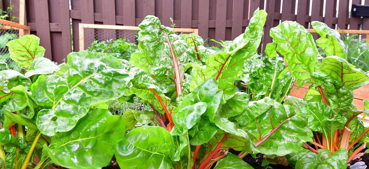 Seniors create coop garden for seniors