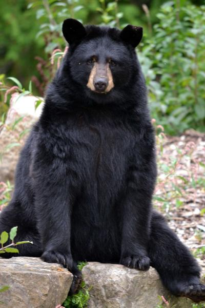Beloved Ecomuseum black bear Juno passes