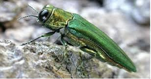 Beaconsfield offers EAB grant to residents