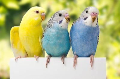 Pet Talk: What you need to know about budgies | Pet Talk