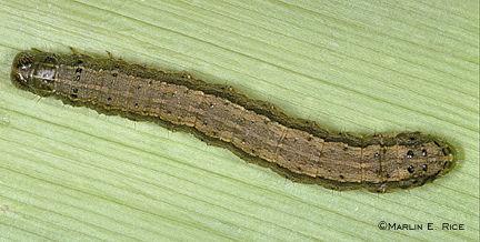 army worm 1.jpg