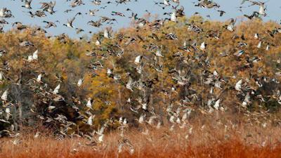 Arkansas Wildlife Waterfowl Report