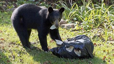 Bears in Arkanas