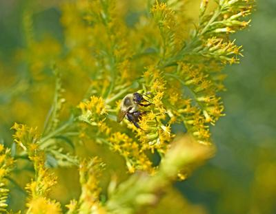 golden rod with bumblebee