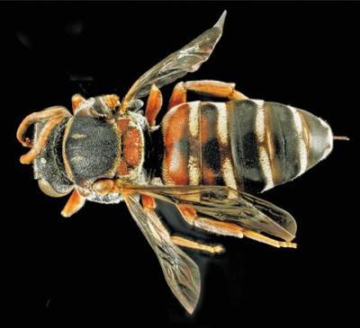bee basham cuckoo insect