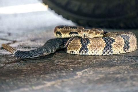 Rattlesnake coiled up