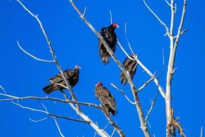 vultures basham