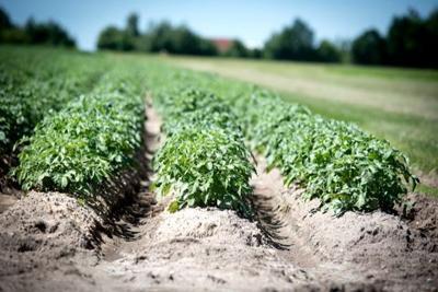 phosphorus crops rows