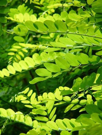 locust tree leaves