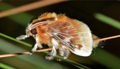 The Southern Flannel moth