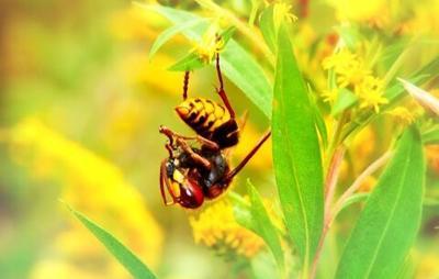 basham european hornet