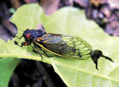 As Brood X cicadas emerge, Northeast PA awaits their arrival