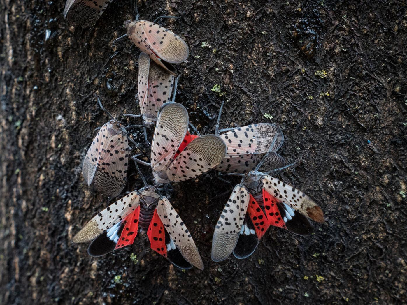 Ready or not, here comes the spotted lanternfly