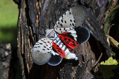 Lackawanna County canvass finds poor compliance with spotted lanternfly quarantine rules