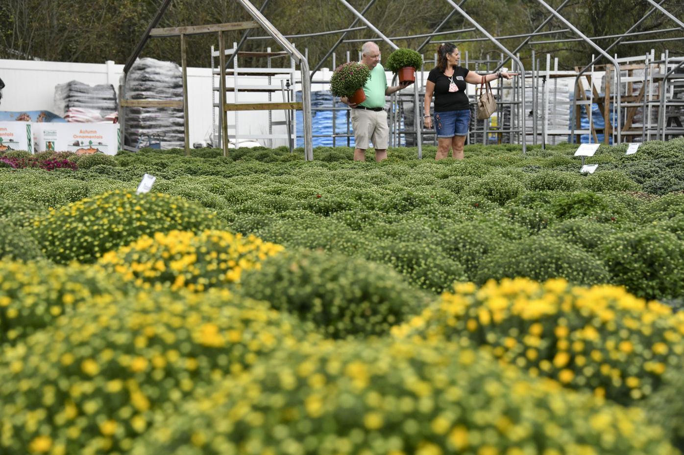 Fall favorites: Garden centers move mums, peddle pumpkins