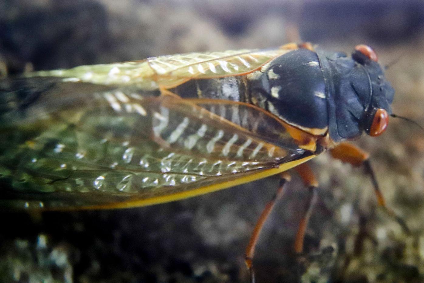 Periodacal Cicada Pennsylvania